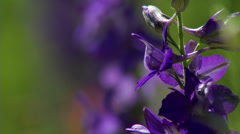 Blue Flowers Larkspur Stock Footage