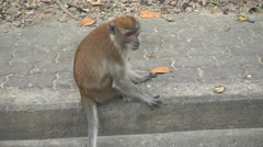 Brown monkey sitting on the pavement. Songkhla, Thailand Stock Footage