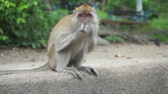 Monkey sitting, chewing and grinning, slow motion video. Songkhla, Thailand - stock footage