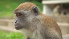 Monkey looking around, close up slow motion video. Songkhla, Thailand Stock Footage