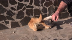 Stock Video Footage of Cute puppy dog biting hand, aggressive training, tail motion, outdoor, sunny day