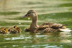Female mallard duck with ducklings swimming on lake surface ( Anas platyrhync Stock Photos