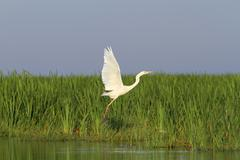 white heron flying over marsh ( Ardea alba ) - stock photo