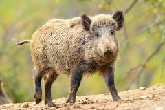 Wild boar in a glade ( Sus scrofa ), coming towards camera Stock Photos