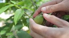 Ripe walnut green Stock Footage