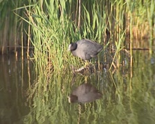 Common coot (fulica atra) on floating vegetation + plunges into the water Stock Footage
