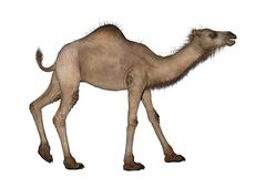 Dromedary or Arabian Camel - stock illustration