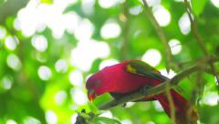 Stock Video Footage of Red parrot with colorful wings on tree branch surrounded by greenery of forest