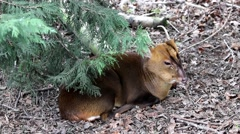 Muntjac Deer Laying Under a Tree Stock Footage