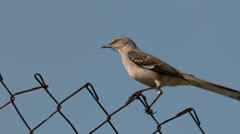 Gray and Brown Bird Taking Off from Fence in Slow Motion Stock Footage