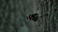 Red Admiral Butterfly Taking Off in Slow Motion - stock footage