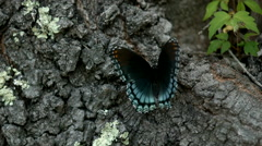 Black and Blue Red-Spotted Purple Butterfly Taking Off in Slow Motion Stock Footage