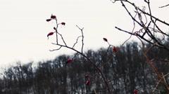 Red Berries in Winter - stock footage