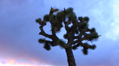 Time Lapse of Joshua Tree during Sunset Afterglow -Long Shot- - stock footage