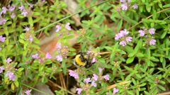 Bumblebee gathers pollen from wild thyme flowers Stock Footage