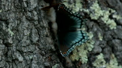 Black and Blue Red-Spotted Purple Butterfly Flapping its Wings in Slow Motion Stock Footage