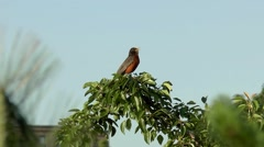 Robin singing songbird chirps, perched in tree - stock footage