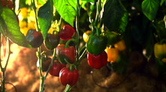Camera pans through farm of ripe tomatoes on the vine with lighting Stock Footage