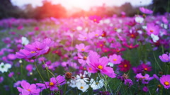 Beautiful cosmos flowers swaying in the breeze with sun light, slow motion. - stock footage