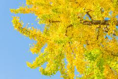 Stock Photo of Ginkgo tree in japan