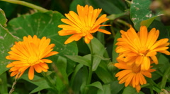 Marigolds flowers. Full HD RAW video Stock Footage