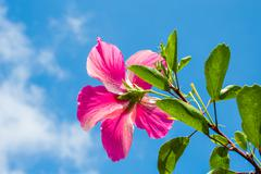 "Pretty Pink Hibiscus ""Affirmation"" - stock photo"