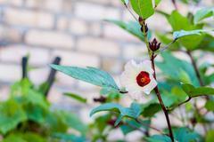 Roselle Flower - stock photo