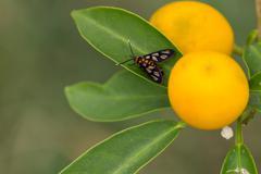 Orange Spotted Tiger Moth - stock photo