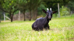 Goats flock on pasture. Stock Footage