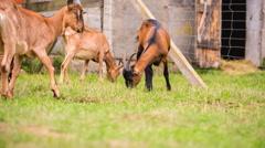 Goats flock on pasture. Stock Footage