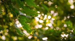 Green maple leaves with bokeh background. Stock Footage