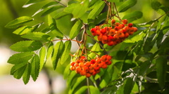 Close up of rowan fruits on branch. Stock Footage