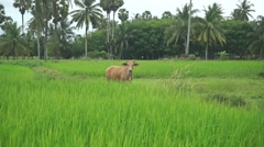 Cow on rice plantation, Thailand Stock Footage