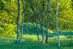 Spring in the forest, birch trees in the morning light - stock photo