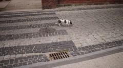 Tenterfield Terrier runs along street Stock Footage