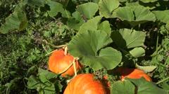 Pumpkin vegetables growing in organic food farm plantation. Tilt up. 4K Stock Footage