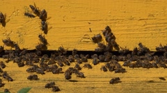 Closeup of worker bees at yellow hive house entrance. Zoom out. 4K Stock Footage