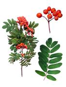 Rowan branch, leaf and detail of fruit. Stock Photos