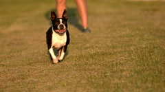 Boston Terrier Dog Running Towards Camera in Slow Motion  Stock Footage