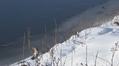 Sparrows on snow Stock Footage