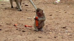 Rhesus macaque sits on the ground and eats fruit Stock Footage