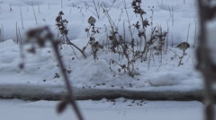 Goldfinch  winter Stock Footage