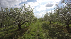 Flowering apple trees, time lapse 4K Stock Footage
