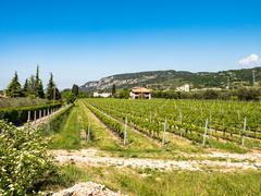Vine growing close to Lake Garda, Italy. Stock Photos