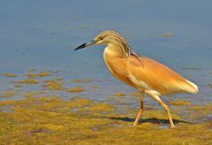 crested heron - stock photo