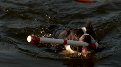 Boston Terrier Dog Swimming to Get Toy from Water in Slow Motion  Stock Footage