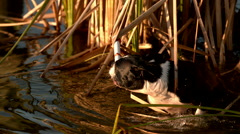 Boston Terrier Dog Getting a Toy in Some Weeds from the Water in Slow Motion  Stock Footage