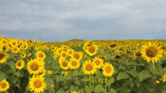 4K blue sky with cloud on sunflower field time lapse Stock Footage