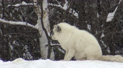 Arctic Fox Arkistovideo