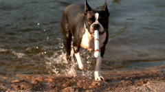 Boston Terrier Dog Getting Toy from Water in Slow Motion  Stock Footage